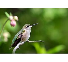 Gentle Hummingbird Photographic Print