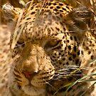 Leopard at the Okawango Delta by Chrissy Edye