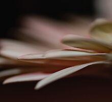 Gerbera petals by Tracey  Dryka