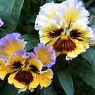 Frilly Pansies by ElsT