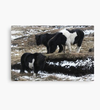 Shetlands and Snow Canvas Print