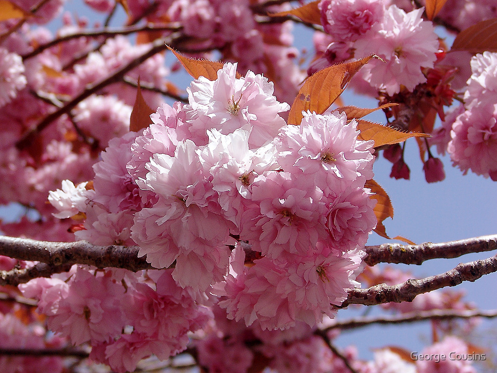 Spring Blossoms by George Cousins