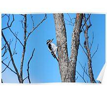 wood pecker Poster