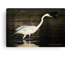 Ardea Alba - Great White Egret Looking For Fish In Porpoise Channel - Stony Brook, New York Canvas Print