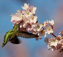 Drinking Among Clouds of Pink Blossoms by Wolf Read