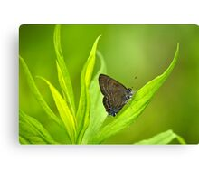 Banded Hairstreak Butterfly on Leaf Canvas Print