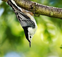 White Breasted Nuthatch by Christina Rollo