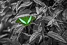 Green-banded Peacock - selective colour by PhotosByHealy