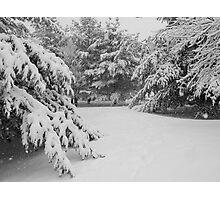 Winter Pines Photographic Print