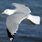Seagull in flight by Ruth Lambert