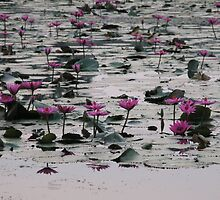 Water Lilies - Angkor Wat by Trishy