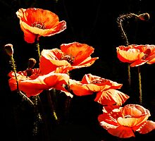 Poppies  by rodesigns