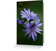 Chicory Flowers Greeting Card