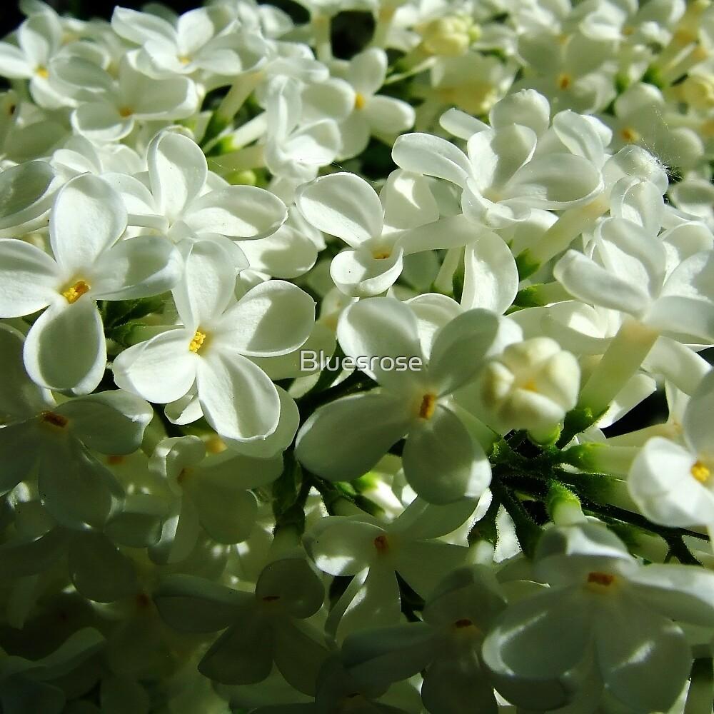 Lilac time by Bluesrose