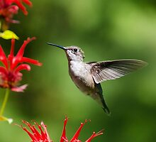 Hummingbird Beauty by Christina Rollo