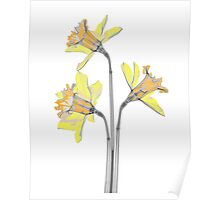 Colourful dafodil flowers Poster