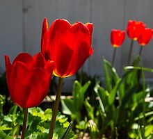 Red Tulips by JoeGeraci
