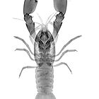 Yabby by Paul CESSFORD