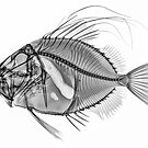 John Dory by Paul CESSFORD