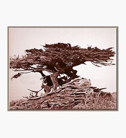 Sepia Cypress Photographic Print