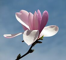 Ethereal Magnolia by AngieDavies