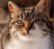Kitty by Alexandru Simionesei