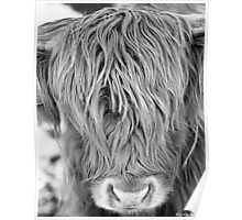 Highland Cow - Face Portrait Poster