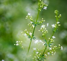 Bedstraw Wildflowers by Christina Rollo