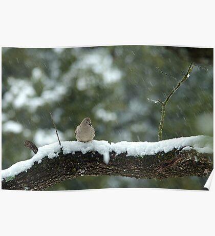 Texas Snow Bird Poster