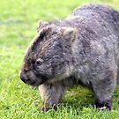 Australian Wombat by Clive