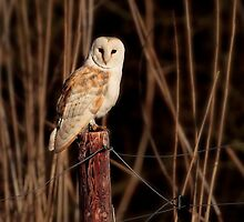 Barn Owl - [Tyto Alba] by outwest photography.co.uk