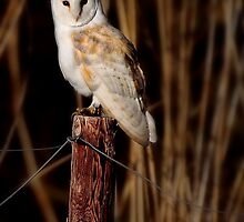 Barn Owl - Norfolk.UK by outwest photography.co.uk