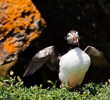 Atlantic Puffin by Stephen Lawlor