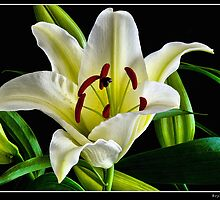 Portrait of a Lily on Black by bfburke