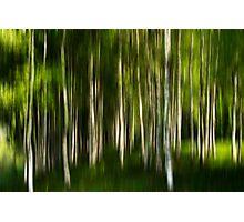 Birchwood Photographic Print