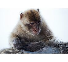 Young Gibraltar Macaque Photographic Print