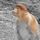 A Young Proboscis Monkey by justineb