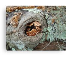 Shelf Fungi in a Knot Canvas Print