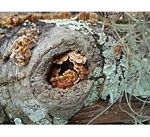 Shelf Fungi in a Knot Photographic Print