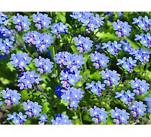 Forget Me Not - Macro Photographic Print