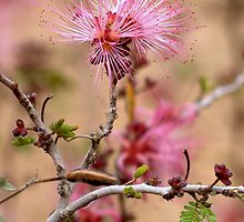 Pretty and Pink Fairy Duster by Diana Graves Photography