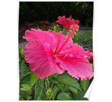 Pink hibiscus. Poster