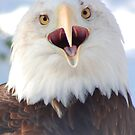"""""""Screaming"""" American Bald Eagle in Winter by mwfoster"""
