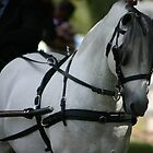 Grey Stallion in harness~ Rylestone-Kandos Show 2010 by MomentsinTime