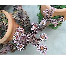 Blooming hens and chicks Photographic Print