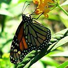 Elegant and Regal Monarch  by shutterbug2010