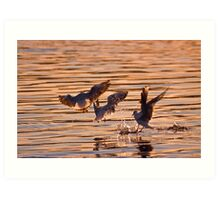 Black-headed gulls at sunset Art Print
