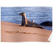 Common seal Poster