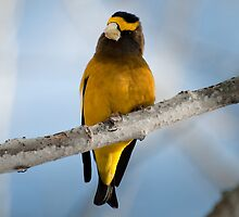 Evening Grosbeaks in an Aspen grove by Joy Danen