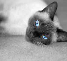 Siamese Kitty by 313 Photography